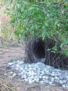 Image detail for -Bowerbirds, Australia and New Guinea | Decoration As Composition