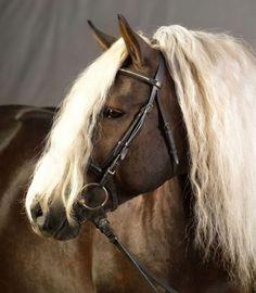This the stallion Modem he is now in the Netherlands at Schwarzwalder fuchs stoeterij Marja de Bruin in Azewijn. Beautiful and very gentle stallion. Great caracter!
