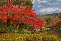 https://flic.kr/p/AE7h2i | Maruyama Park on a Fine Autumn Day in Kyoto. | Autumn in Maruyama Park (円山公園) near Yasaka Shrine (八坂神社) in the heart of Kyoto.