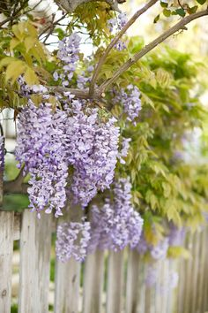 garden vines and creepers Blue Morning Glory, Purple Wisteria, Spring Blossom, All Things Purple, Classic White, Beautiful Flowers, Vines, Dream Wedding, Home And Garden