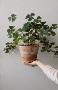 Indoor plants pictures – cozy decoration ideas with potted plants – House Plants Green Plants, Potted Plants, Big Indoor Plants, Indoor Herbs, Air Plants, Cactus Plants, Plantas Indoor, Oxalis Triangularis, Plants Are Friends