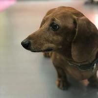 Eugene Oregon Dachshund Meet Jelly Belly A For Adoption