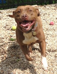 Meet Liddy..a sweet spayed female Pit Bull Terrier Mix who was born around November of 2012. Liddy would do best in a home without any other pets or children under 12 years old. Come meet pretty Liddy today!