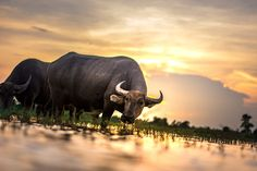 Taurine is important for your body, brain & testosterone. This Free Guide gives all 7 Taurine Benefits for Higher Testosterone & Libido. Stock Market Data, Buffalo Animal, Wildlife Day, Luang Prabang, Water Buffalo, Animal Facts, Marketing Data, Belle Photo, Free Stock Photos