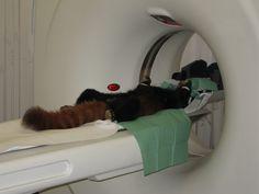 Tiermedizin im Zoo | Zoo Heidelberg Kleiner Panda im CT