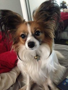 Papillon dog Lila my baby girl!!