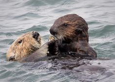 Sea otter mother shares a snack with her pup - October 11, 2016