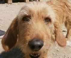 basset fauve de bretagne photo | Ulla : chien basset fauve de bretagne à adopter dans la région ...