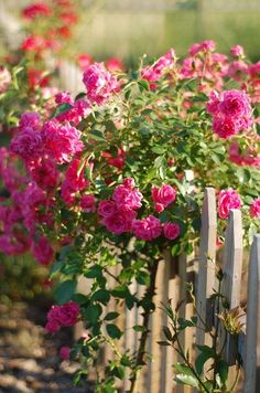 pink roses on a weathered wooden fence