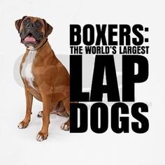 Its so true! I know someone with a boxer, and when he was a baby he would always climb on my lap. Now he's grown, but he still tries to get on my lap! :)