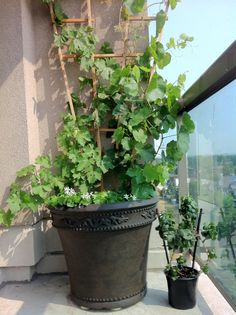 Standard grapes versus the Pixie Grape (a perfect small space, container friendly grape vine).