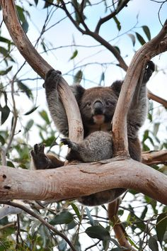 Just Hanging Koala by: chandl-r