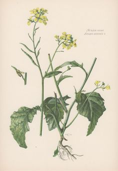 Botanical Print Wild mustard Sinapis by AntiquePrintGarden on Etsy