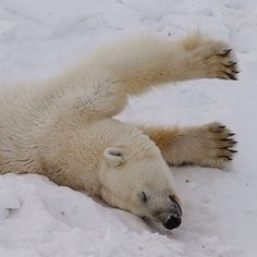 Photo by @mattiasklumofficial A nice morning stretch routine... A very cooperative polar bear female stetches before wandering off on the ice flows near the  Nordenskiöld glacier. Polar bear paws are obviously perfect for roaming the Arctic ice.  Go to @mattiasklumofficial to see how she, together with her adorable cubs, fell a sleep a stones throw from me and my cameras. Their paws measure up to 31 centimeters (12 inches) across and help distribute weight when treading on thin ice. When…