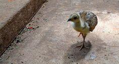 60 - Pollito de Pavo Real