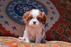 Photographic Print: Cavalier King Charles Spaniel Puppy by Zandria Muench Beraldo : 24x16in