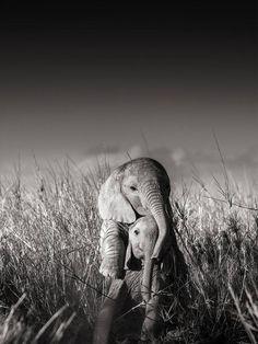 Joachim Schmeisser - Wild elephant babies playing I, century, contemporary, wildlife Cute Baby Animals, Animals And Pets, Funny Animals, Wild Life Animals, Wild Elephant, Elephant Love, Happy Elephant, Elephant Photography, Animal Photography
