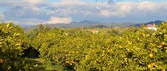 An orange grove in Coín (Málaga) in Andalusia, Spain. Orange Grove, Andalusia Spain, Christmas Messages, December 2014, Christmas 2014, Malaga, Countryside, Vineyard, Spanish