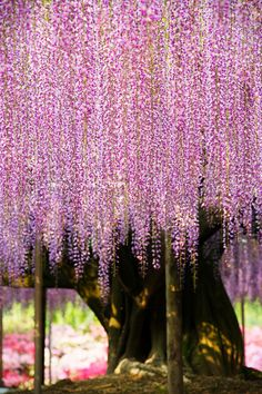 Purple Weeping Tree. Nature Photography.