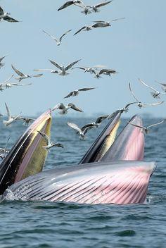 Bryde's whale (thailand)