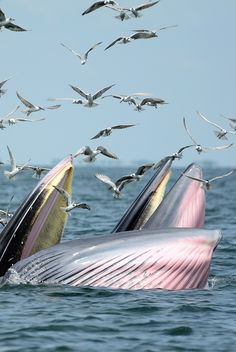 Bryde's Whale (Bang-ta-boon, Thailand) feasting on anchovy by Apichart Tangcharoenbamroongsook