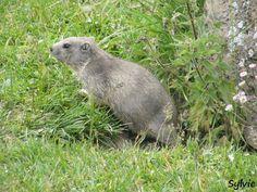 Marmotton, sur le sentier du refuge de la Femma / Parc national de la Vanoise / Savoie / Alpes