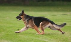 GSD Beautiful and unique in motion. Click on this and visit a site with beautiful dog photography