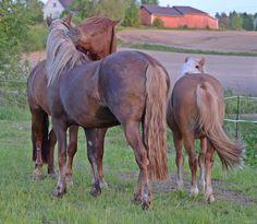 Minttu, Aamu and Tyyris. Mom and daughter. Suomenhevonen, suomenpienhevonen #Finnhorse