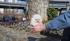 Teacup Pomeranian, Teacup Puppies, Fur Slides, Colours, Pets, Animals, Cute Puppies, Animales, Animaux