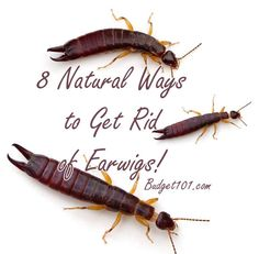 Got Earwigs in the house? Here are 8 Natural Ways to get rid of them & prevent them from coming back!