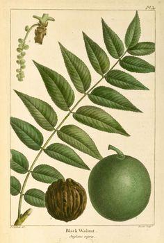 Black Walnut (Juglans nigra). From New York Public Library Digital Collections.