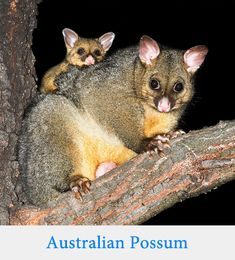 "New Zealand Possum ""A bright-eyed baby Common Brushtail Possum in Australia gets a ride on its mother on a tree branch, clinging tightly. Reptiles, Mammals, Australian Possum, Australian Birds, Beautiful Creatures, Animals Beautiful, Wild Life, Baby Animals, Cute Animals"