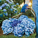 Love Hydrangeas...have two blue ones in my garden that are lovely.  Wonder if they will stay blue or change to pink?  ...it all depends on the pH of the soil.