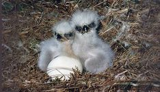 Baby Pictures, Animal Pictures, Eagle Pictures, Baby Bald Eagle, Sibling Poses, Siblings, Baby Faces, All Birds, Baby Chicks