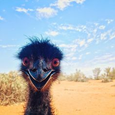 """ - Clearly this cheeky emu in has already had his daily coffee hit (lizzyallnutt/IG)"" Happy Animals, Funny Animals, Cute Animals, Emu, Beautiful Birds, Animals Beautiful, Hello Photo, Ostriches, Australian Animals"