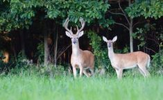 How to attract whitetail to your land