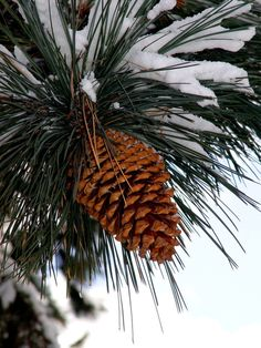 Is there anything as Southern as a pine cone?  The frosting of snow is so pretty!