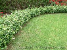 Star jasmine hedge