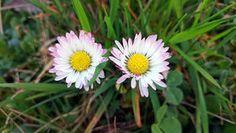 Sedmikráska chudobka (Bellis perennis) je mocná léčivka Foto:
