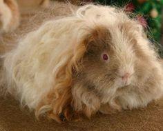 Texel Guinea Pig   texel-guinea-pig-awaiting-judging-at-a-show.jpg
