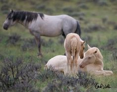 Wild Hoofbeats: Wild Horses: Legislation and the McCullough Peaks Herd