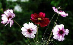 бело-розовые, космея, красный, цветы