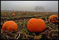 Pumpkin fields on Halloween
