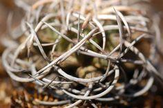 Resguardada entre las espinas (biznaga de chilito: Mammillaria magnimama)