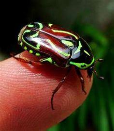 """Australian Scarab Beetle aka """"Fiddler"""""""