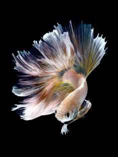 Siamese fighting fish by visarute angkatavanich # 500px.com/bluehand