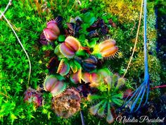 Еще одна прекрасная комбинация от вчерашнего автора. #мухоловка #венеринамухоловка #dionea #Dionaeamuscipula #dionaea #venusflytrap #flytrap #plantswithbite #carnivorousplant #carnivores #carnivoroustagram #carnivorous #Ульяновск #ulsk #симбирск #simbirsk #ulyanovsk #exoticflora http://ift.tt/1UoqlCW