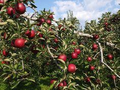 [2012.8.2] 탐스러운 사과 X10    붉은 사과가 주렁주렁 탐스럽게 열렸네요.    1665년 어느날 뉴턴은 사과나무 밑에서 떨어지는 사과를 보고 만유인력의 법칙을 발견했다고도 하죠?    일상 속에서 놀랍고 기분좋은 발견을 하는 하루가 되시길 바랄게요^^    <사진정보>    촬영 모드 - Manual   감도 - ISO 100   다이나믹 레인지 - 100%   조리개 - f/5.6   셔터스피드 - 1/400   초점거리 - 7.1mm   화이트 밸런스 - AUTO   필름 시뮬레이션 - PROVIA    http://blog.naver.com/fujifilm_x/150136712536