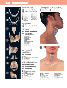 Laryngeal anatomy--would've been helpful during my anatomy/physiology of speech class Speech Language Therapy, Speech Language Pathology, Speech And Language, Voice Therapy, Speech Therapy Activities, Anatomy And Physiology, Teaching Music, Singing, Oral Motor