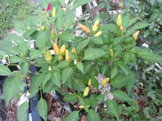 Sorbel hot peppers - In the Gardens today 6-28-2013